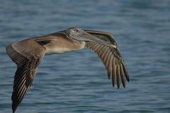 Brown-Pelikan - unreif Stockbilder