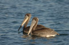 Brown-Pelikan - unreif Stockfoto