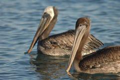 Brown-Pelikan - unreif Stockfotos