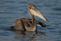 Brown-Pelikan - unreif Lizenzfreies Stockbild