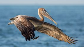 Brown pelikan w locie, Estero laguna, Zdjęcia Stock