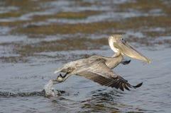 Brown pelikan w locie, (Pelecanus occidentals) Obrazy Stock