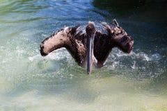 Brown pelikan w wodzie Zdjęcia Royalty Free