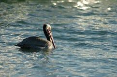 Brown-Pelikan - Züchten des Erwachsenen Lizenzfreies Stockfoto