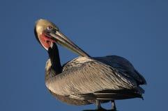Brown-Pelikan - Züchten des Erwachsenen Stockbild