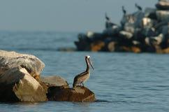 Brown-Pelikan - Züchten des Erwachsenen Stockfoto