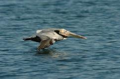 Brown-Pelikan - Züchten des Erwachsenen Stockbilder