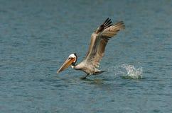 Brown-Pelikan - Züchten des Erwachsenen Stockfotos