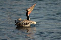 Brown-Pelikan - Züchten des Erwachsenen Lizenzfreies Stockbild