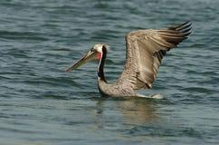 Brown-Pelikan - Züchten des Erwachsenen Lizenzfreie Stockfotografie