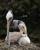 Brown pelikan z narastającymi kurczątkami Obrazy Stock
