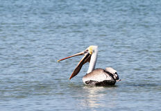 Brown pelikan z otwartym belfrem Obrazy Stock