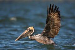 Brown pelikan z rozciągniętymi skrzydłami, Estero laguna, Floryda Obraz Royalty Free