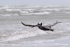 Brown pelikan z skrzydłami rozprzestrzenia wznosić się nad plażą Fotografia Stock