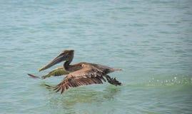 Brown pelikana lądowanie w oceanie zdjęcia royalty free