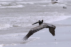 Brown pelikana latająca depresja nad fala na plaży Obraz Stock