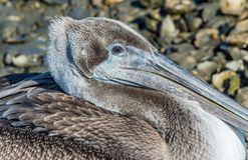 Brown pelikana mikro Obraz Royalty Free