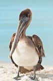 Brown pelikana pozycja na tropikalnej linii brzegowej Fotografia Royalty Free
