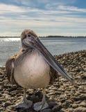 Brown pelikana profil Zdjęcie Royalty Free