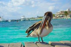Brown-Pelikane über einem hölzernen Pier in Puerto Morelos im karibischen Meer nahe bei dem tropischen Paradies fahren die Küste  lizenzfreies stockfoto
