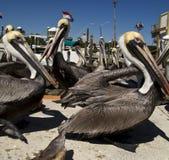 Brown-Pelikane Stockbilder