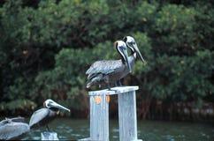 Brown-Pelikane an stockbilder