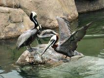 Brown-Pelikane lizenzfreie stockfotos