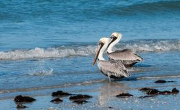 Brown-Pelikane auf dem Ufer Stockfotos