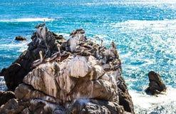 Brown-Pelikane, die auf den Felsen in Chile stillstehen Lizenzfreie Stockfotos