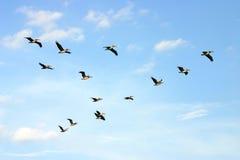 Brown-Pelikane im Flug Lizenzfreie Stockbilder