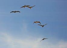 Brown-Pelikane im Flug Lizenzfreies Stockbild