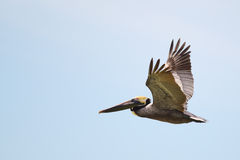 Brown-Pelikan im Flug Stockbild
