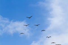 Brown-Pelikangruppe im Flug Lizenzfreie Stockfotos