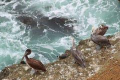 Brown pelikany obrazy stock