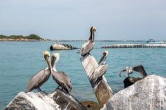 Brown pelikany zdjęcie stock