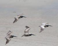 Brown pelikany Zdjęcia Royalty Free
