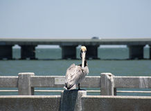 Brown pelikany Floryda, Południowy Jetty, zatoka meksykańska Zdjęcia Stock