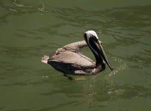 Brown pelikany Floryda, Wenecja, Sarasota, Południowy Jetty, zatoka meksykańska fotografia stock