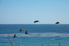 Brown pelikany lata nad oceanem Zdjęcie Stock