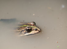 Brown Pelophylax fron in the pond Stock Photo