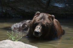 Brown Peninsular bear bathng in the wild. Wild brown Peninsular bear bathing in water Royalty Free Stock Photos