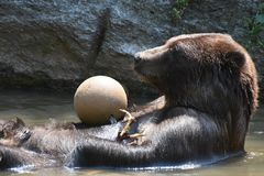 Brown Peninsular bear floating on its back Royalty Free Stock Photo