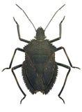 Brown Pentatomid bug Mustha spinosula Royalty Free Stock Photos