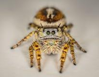 Brown pequeno e macro de salto amarelo da aranha Fotografia de Stock Royalty Free