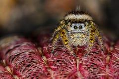 Brown pequeno e macro de salto amarelo da aranha Fotos de Stock Royalty Free