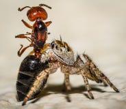 Brown pequeno e macro de salto amarelo da aranha e uma formiga Foto de Stock