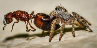 Brown pequeno e macro de salto amarelo da aranha e uma formiga Fotos de Stock
