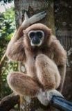 Brown pequeno Gibbon, Koh Samui, Tailândia Imagens de Stock