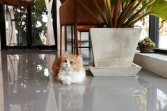 Brown persian cat lying down the floor in coffee shop. A lovely brown Persian Longhair cat lies down on the floor in coffee shop. The cat cafe is located in Royalty Free Stock Photography