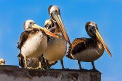Brown peruvian pelikany w Paracas, Peru obrazy royalty free